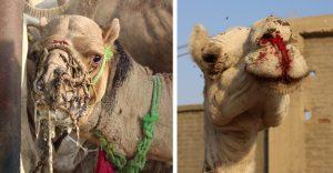 Reálny pohľad na ťavy a koňov zotročovaných v Egypte pre cestovný ruch. Mnohým od únavy tečie krv