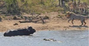 Na brehu levy, vo vode krokodíl. Byvol mal ťažké rozhodovanie