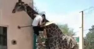 Opitý muž v ZOO sa rozhodol, že si zajazdí na žirafe