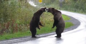 Dva medvede grizly bojujú o svoje teritórium