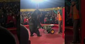 300 kg medveď musel tlačiť táčky. Potom zaútočil na svojho trénera