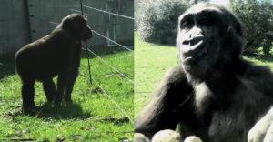 Mladá gorila sa snaží prekonať elektrický plot. Chce byť so svojou rodinou