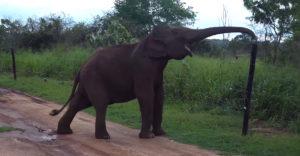 Inteligentný slon prechádza cez elektrický plot