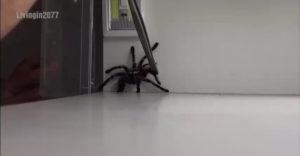 Čo robiť, keď odchyt tarantuly nedopadne podľa plánu