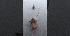 Korčuliar ukázal veľké srdce. Vyslobodil uviaznutú rodinu jeleňov zo stredu jazera
