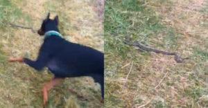 Keď sa chceš venčiť, pomôž mi s týmto hadom (Doberman sa s tým nebabral)
