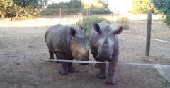 Vedeli ste, ako v skutočnosti znejú nosorožce? (Praktická ukážka)