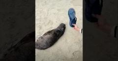Čínsky turista chcel zobudiť tuleniatko spiace na pláži. Vyplieskal ho crocsou