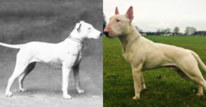 Ako vyzerali populárne plemená psov pred 100 rokmi