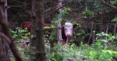 Krava utiekla z bitúnku rovno do lesa. Muž nikdy nezabudne na pohľad, ktorý sa mu naskytol, keď ju našiel