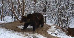 Medveď s psychickou traumou 6 rokov po oslobodení zo ZOO