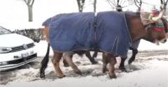 Keď zapadneme v snehu a na pomoc nám príde vôl (Doslova)