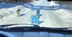 Neveril vlastným očiam, keď sa mu pred autom zjavila svorka modrých psov