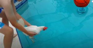 Vedia sliepky/kohút plávať? (Test v bazéne)