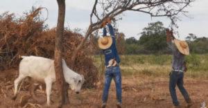 Vyslobodili zakliesneného býka, ten ich na oplátku napadol