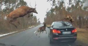 Stádo jeleňov mu poskákalo po BMW (Vyšokovaný vodič)