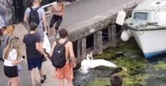 Muž chcel zabrániť tínedžerom kopať do labutí (Dopadol najhoršie)