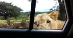 Dôvod, prečo by si sa mal počas jazdy cez Safari zamknúť v aute
